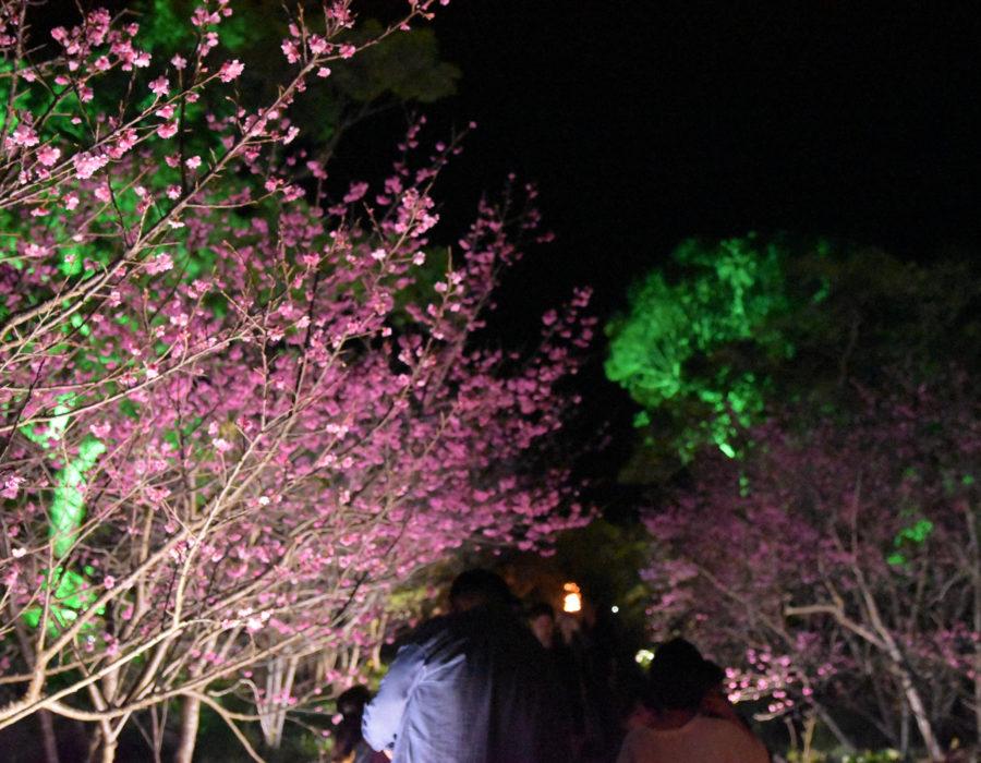 今帰仁グスク桜まつり_写真